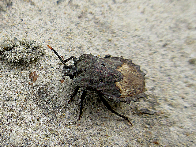 ノコギリカメムシ