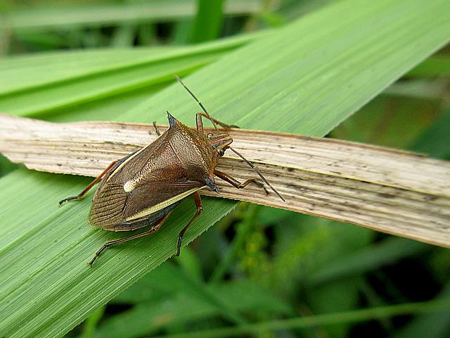 シロヘリクチブトカメ虫